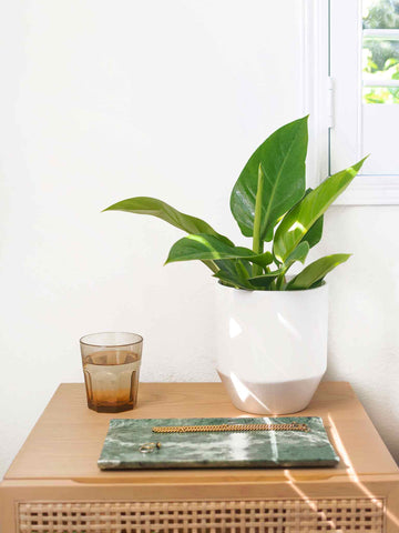 Imperial Green Philodendron - 36vine