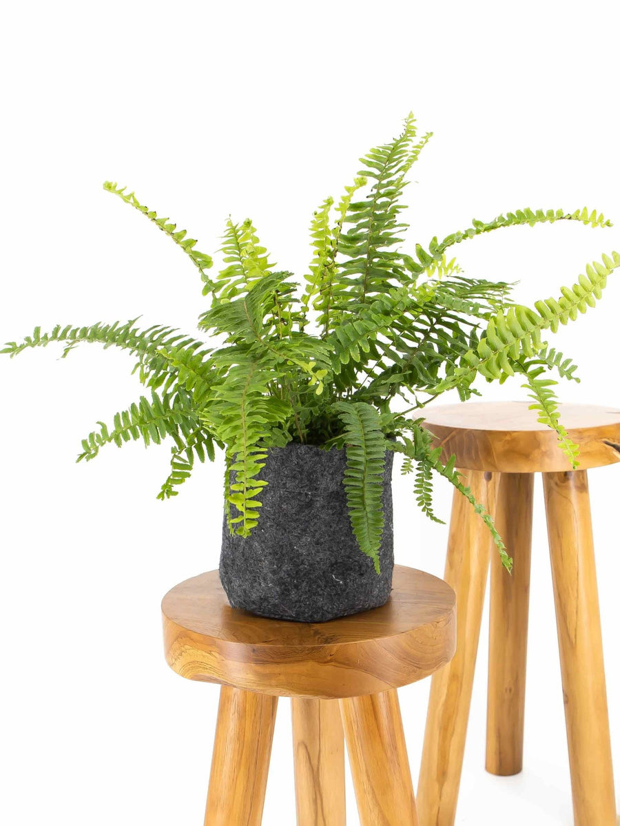 Kimberly Queen Fern - 36vine