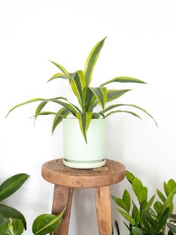 Lemon Lime Dracaena - 36vine