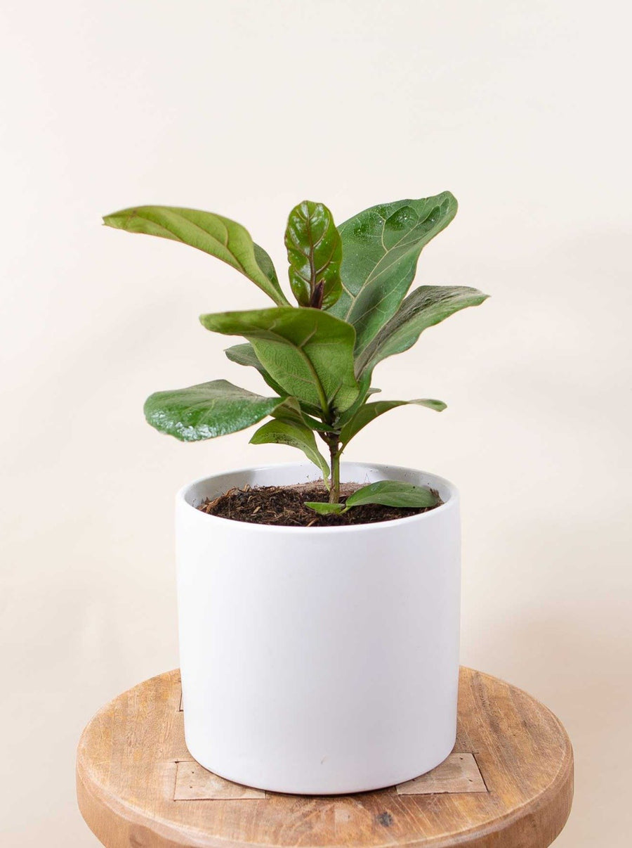 Mini Fiddle Leaf Fig - 36vine