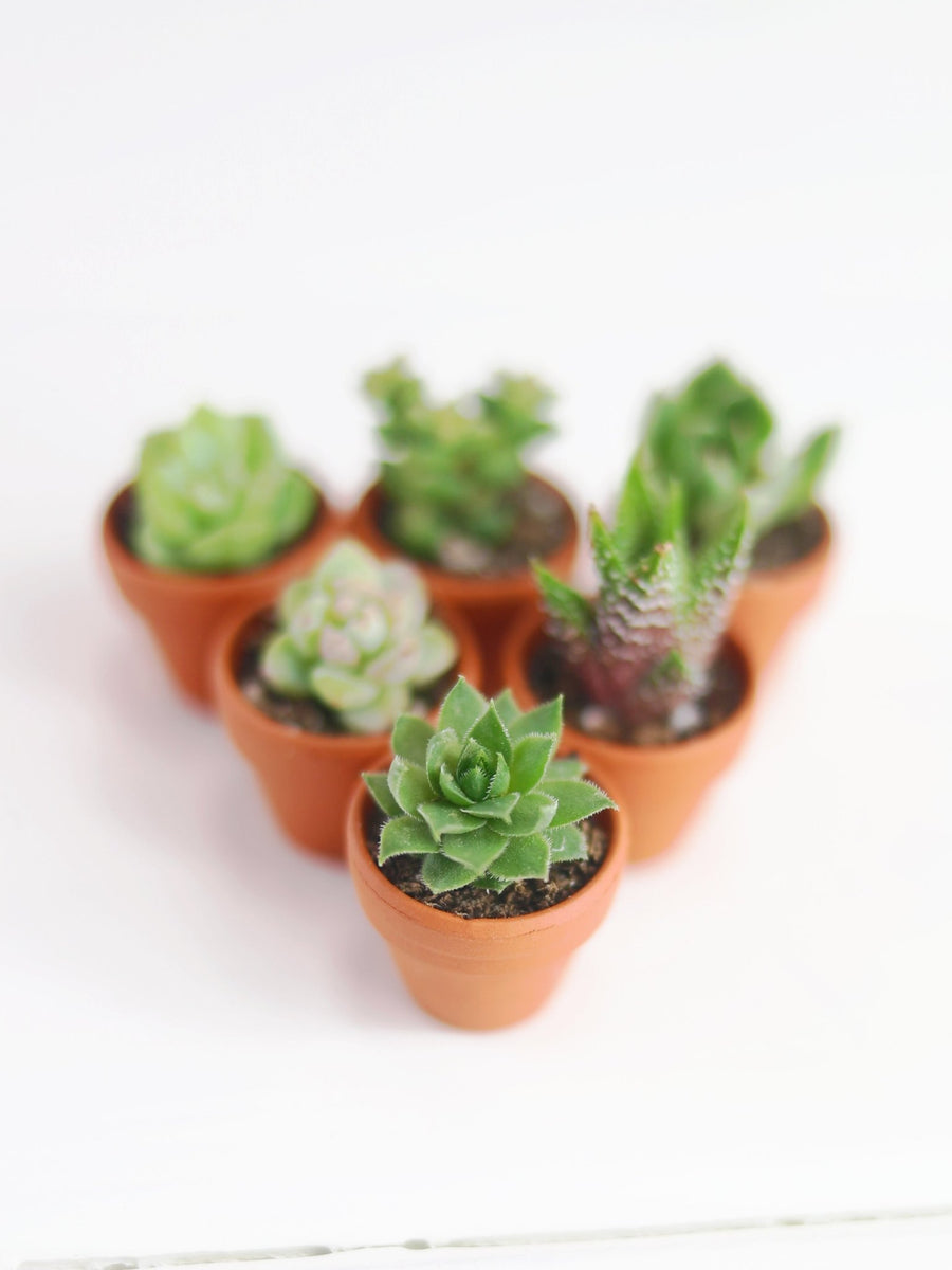 Mini-Succulents 6 Pack - 36vine
