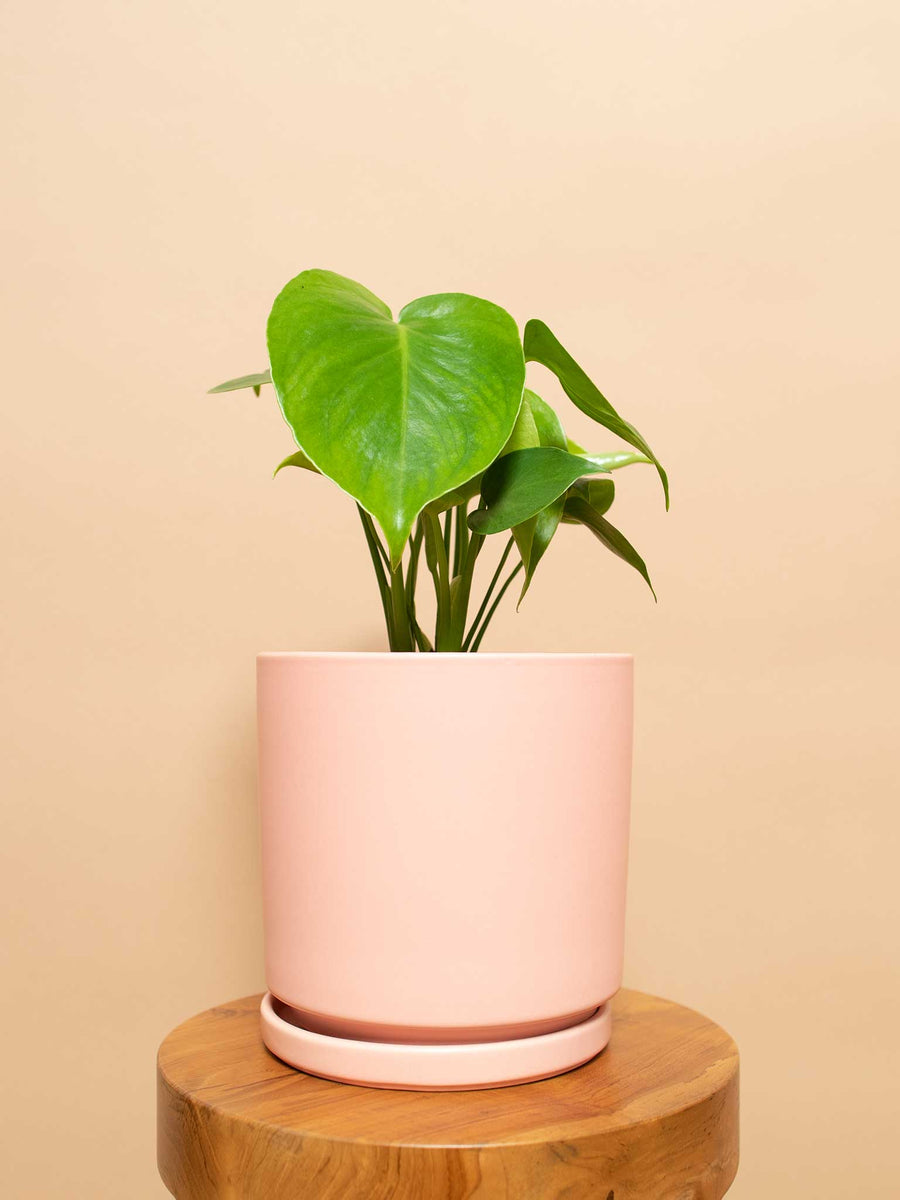 Monstera Deliciosa - 36vine
