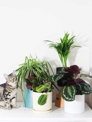The Pet-Friendly Pack | Jungle Pack 4 Plants - 36vine