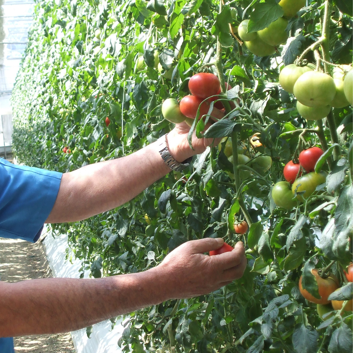 A farmer picking up a tomato