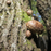 Shiitake mushrooms growing on trees