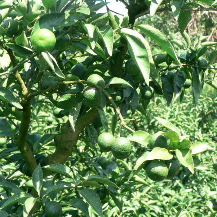 Sudachi fruits hanging from sudachi trees