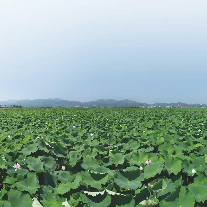 Broad view of lotus fields