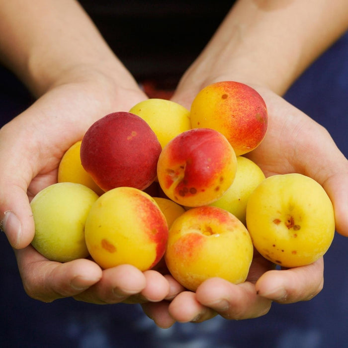 Man holding a handful amount of ume plums with both hands