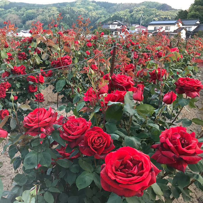 Tremendous rose flowers in rose fields