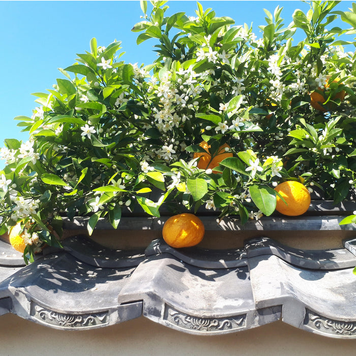 Yuzu fruits hanging from trees