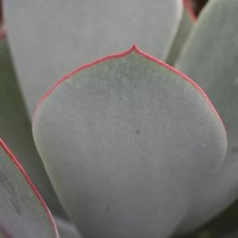 Cotyledon orbiculata 'Red Edge'