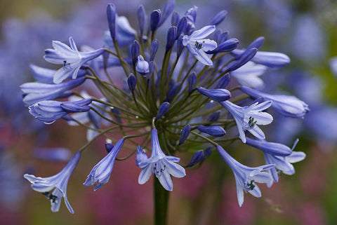 Agapanthus 'Triangle'