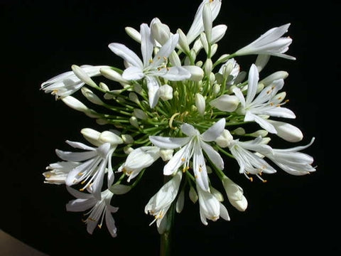 Agapanthus 'White Ice'