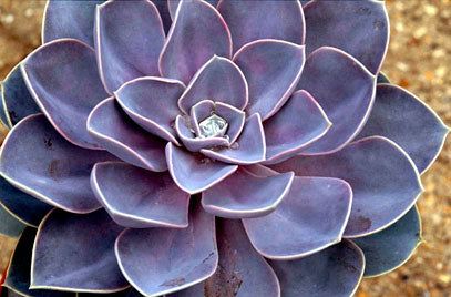 Echeveria 'Duchess of Nuremberg'