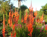 Watsonia 'Tresco Deep Orange'