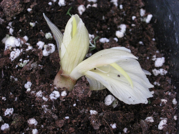 Zingiber mioga 'White Feather'