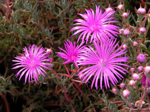 Lampranthus 'Double Lilac'