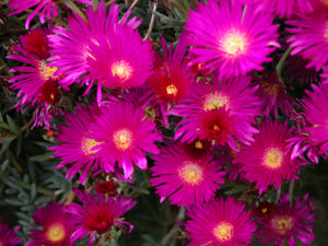Lampranthus 'Purple'