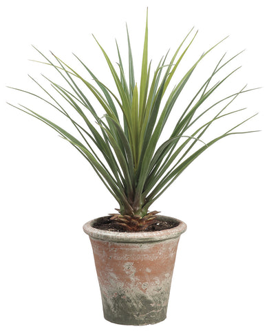Yucca Plant in Clay Pot!