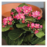 Potted Kalanchoes