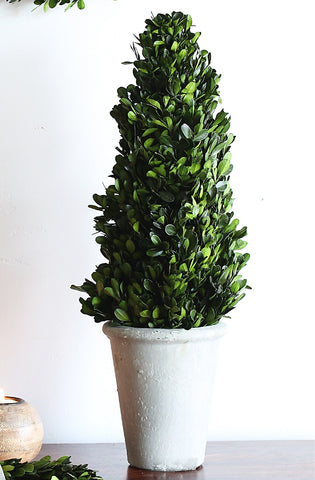Preserved Boxwood Cone Topiary with Pot!