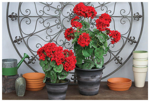 Potted Summer Geranium in 2 sizes