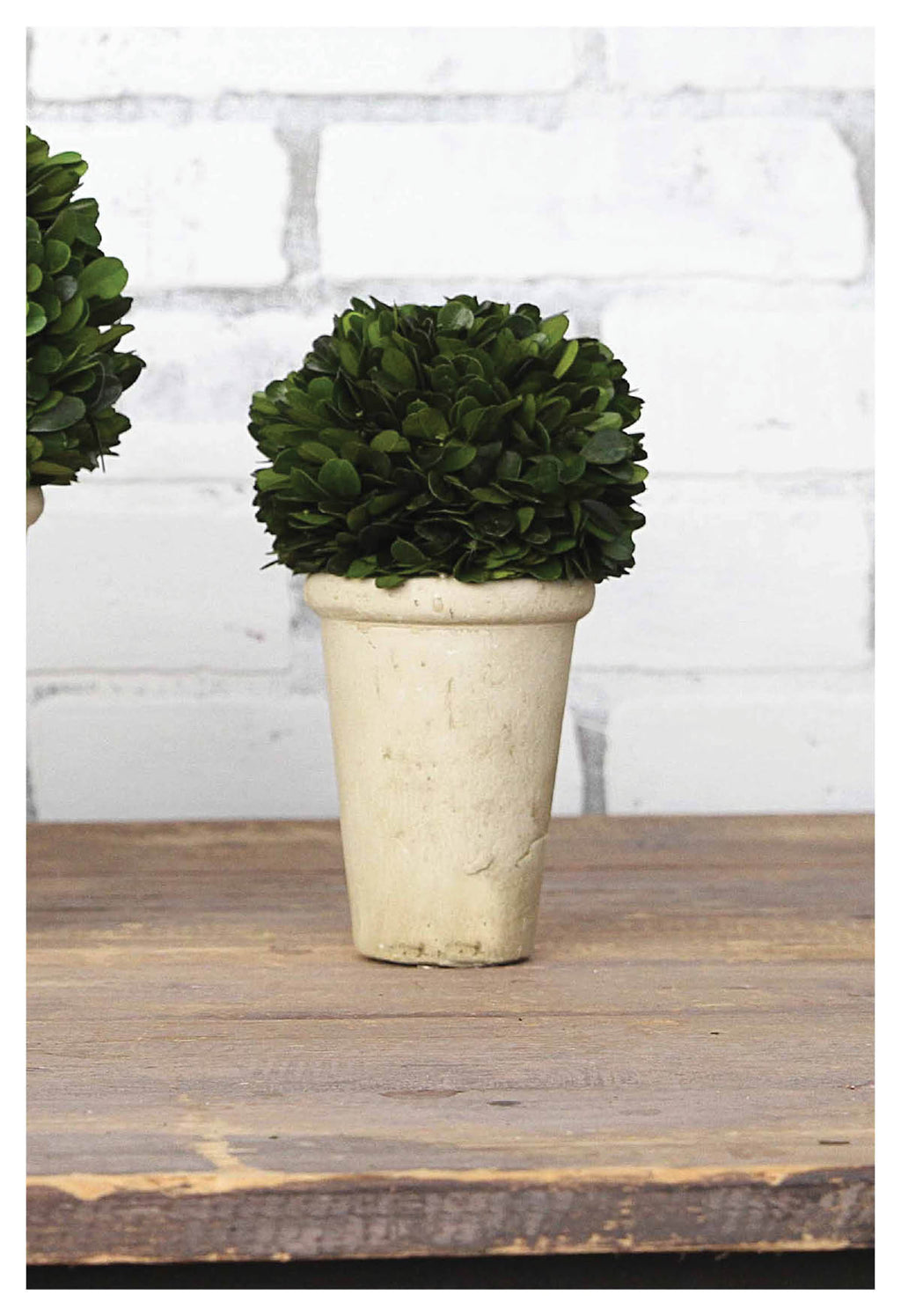 Handsome Potted Half-Ball Boxwood Topiary!
