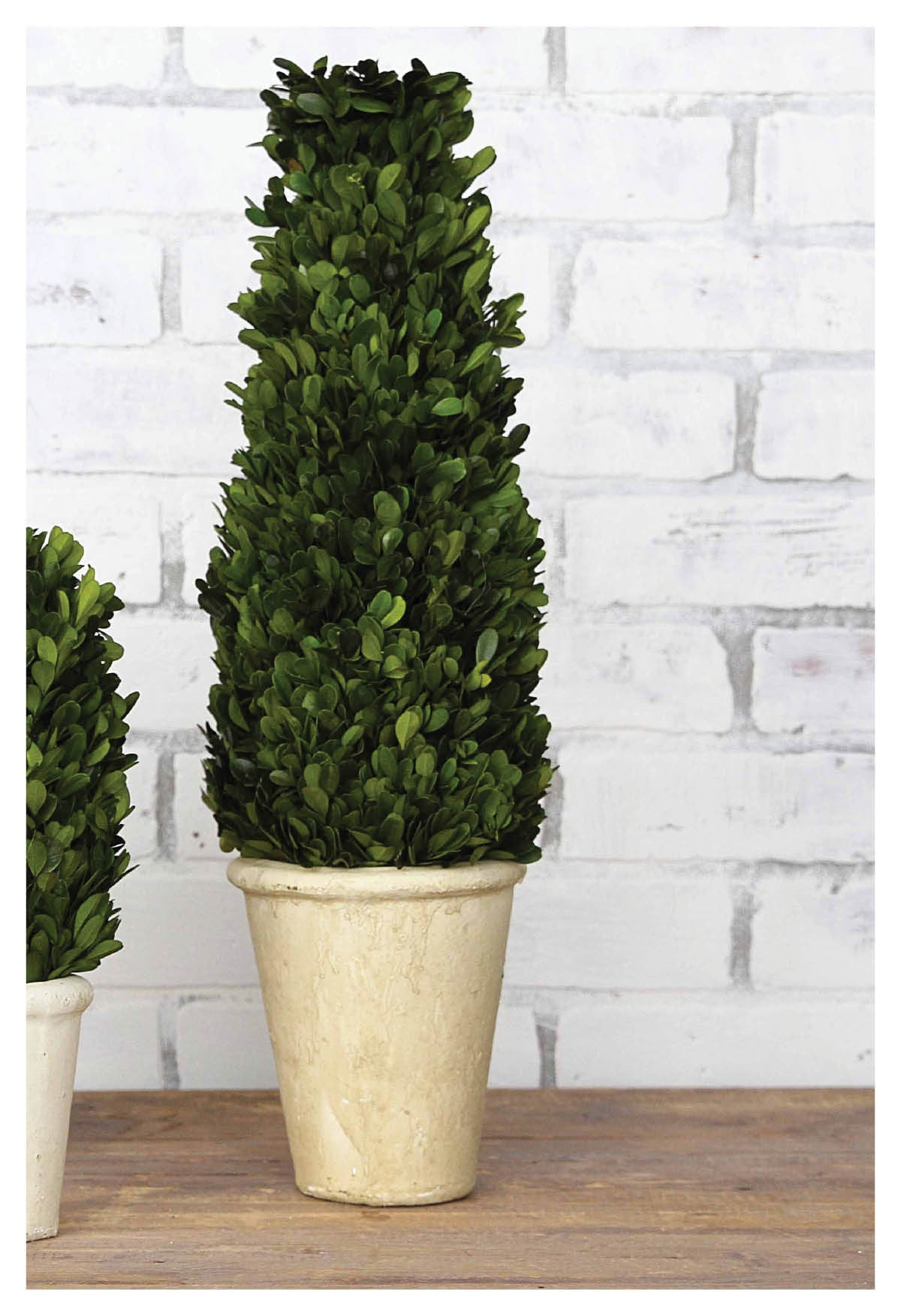 Stately Boxwood Potted Cone Topiaries