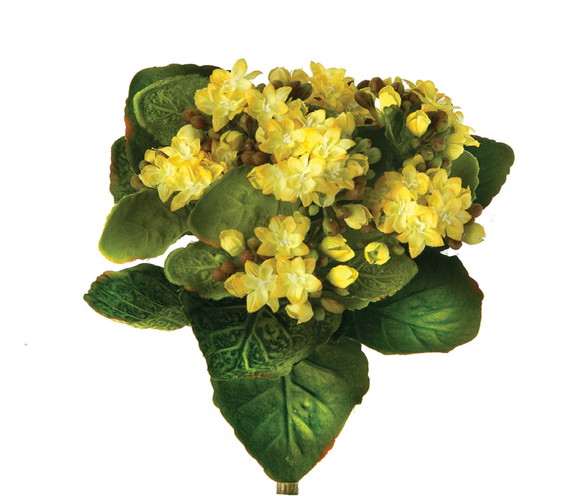 Kalanchoe Plant in Yellow