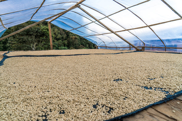 Coffee beans laid out to dry in Peru
