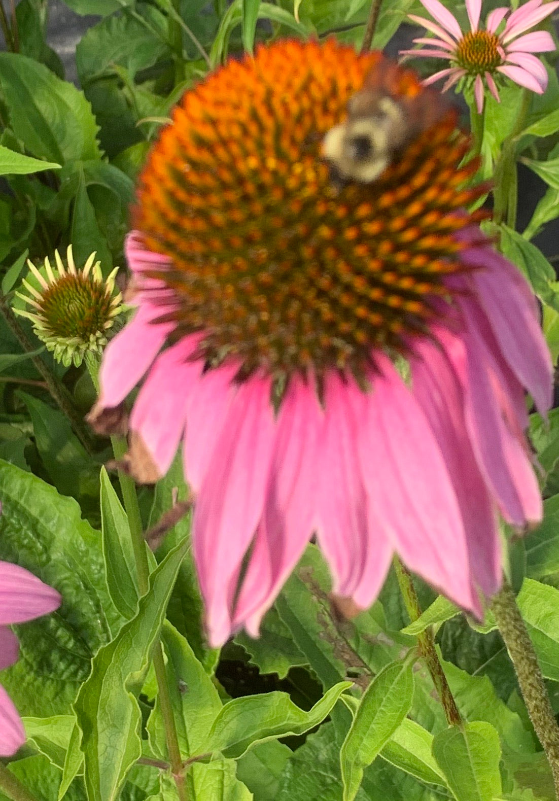 Purple Coneflower/ Echinacea purpurea