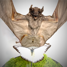 Load image into Gallery viewer, Bat & Butterfly - Predator & Prey Series