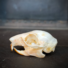 Load image into Gallery viewer, Roof Rat Skull