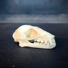 Load image into Gallery viewer, Short-Nosed Fruit Bat Skull