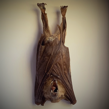 Load image into Gallery viewer, Dagger-tooth Fruit Bat