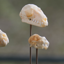Load image into Gallery viewer, Indonesian Bat Skulls