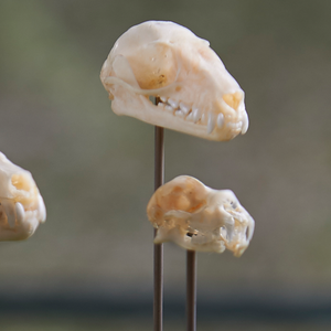 Indonesian Bat Skulls