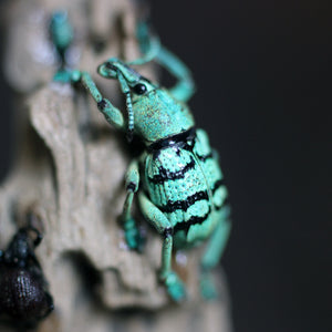 Beetle + Weevil Collection
