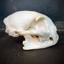 Load image into Gallery viewer, Bobcat Skull
