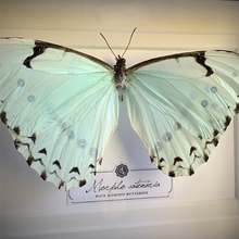 Load image into Gallery viewer, Blue Morpho Butterfly