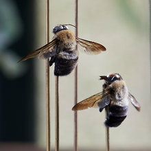 Load image into Gallery viewer, Eastern Carpenter Bees