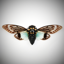 Load image into Gallery viewer, Giant Blue-winged Cicada