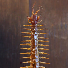 Load image into Gallery viewer, Hispaniola Red Giant Centipede