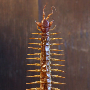 Hispaniola Red Giant Centipede