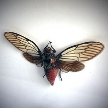 Load image into Gallery viewer, Red Devil Cicada