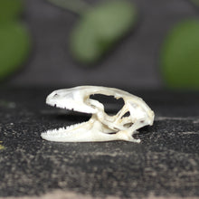 Load image into Gallery viewer, Gecko Skull
