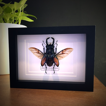 Load image into Gallery viewer, Giant Stag Beetle