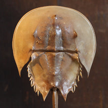 Load image into Gallery viewer, Horseshoe Crab