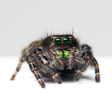 Load image into Gallery viewer, Live Bold Jumping Spider (Phidippus audax) with enclosure