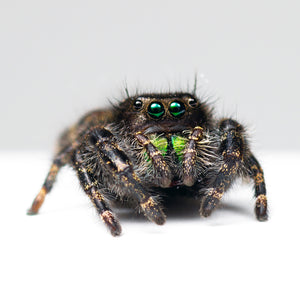 Live Bold Jumping Spider (Phidippus audax) with enclosure